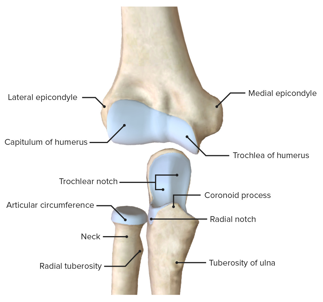Articular surfaces of the elbow joint