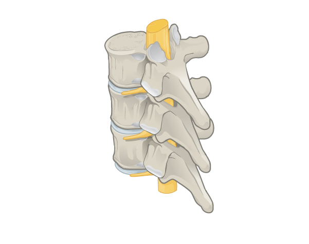 Articulated Vertebrae Spinal cord