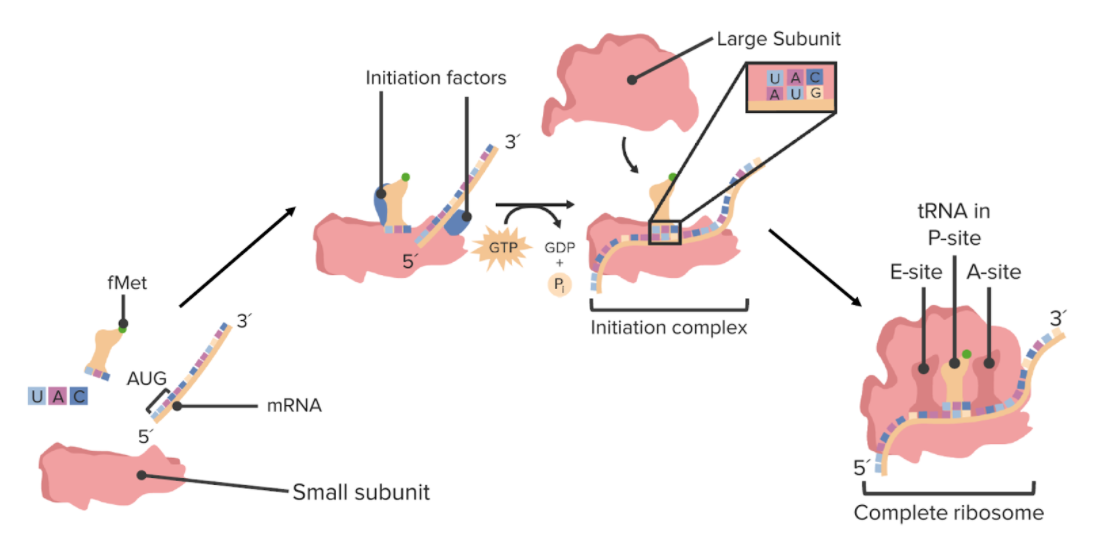 Assembly of a ribosome