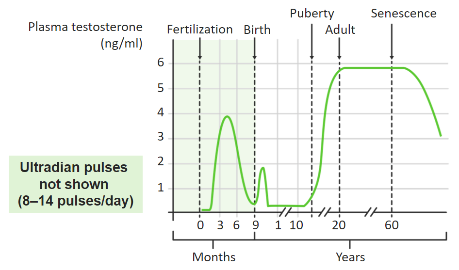 Average testosterone concentrations