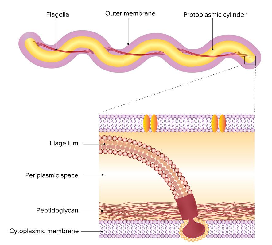 Axial filaments of Borrelia