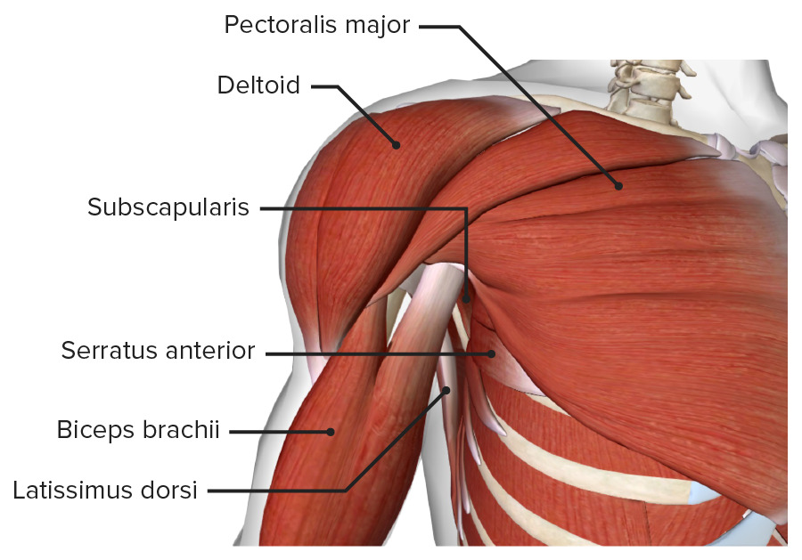 Axilla from anterior anatomical position