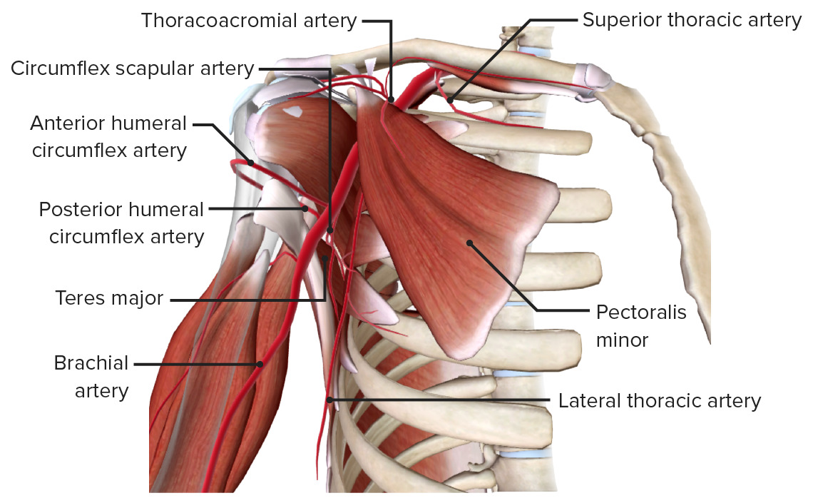 Axillary artery branches