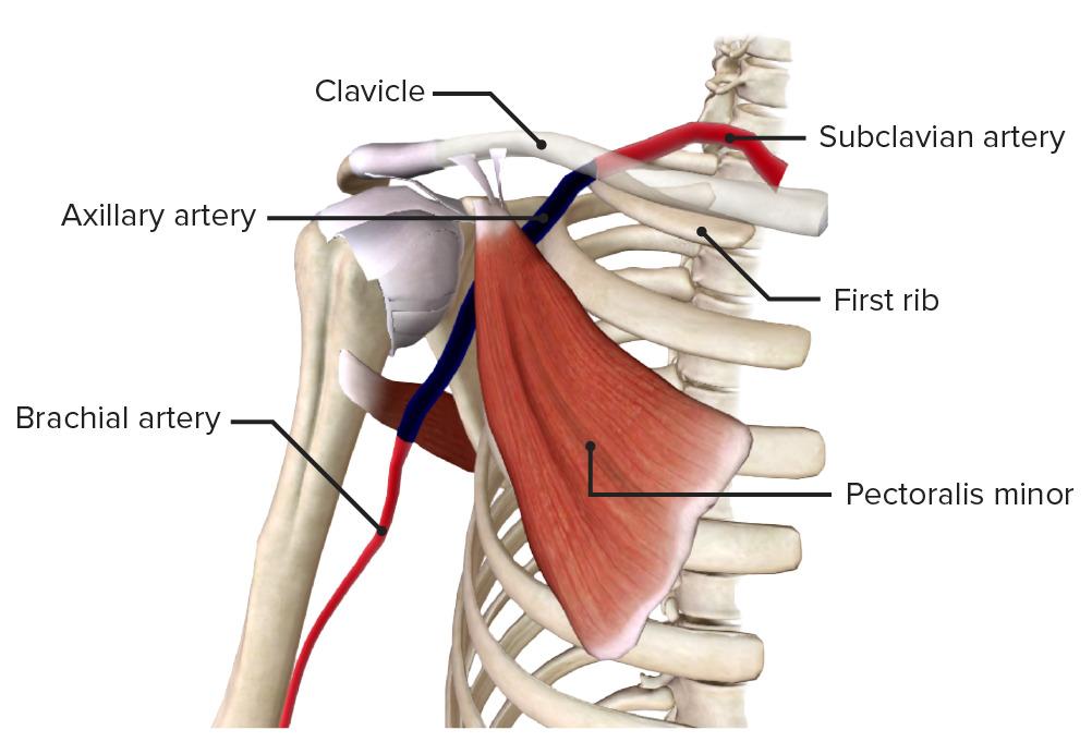 Axillary artery (highlighted)