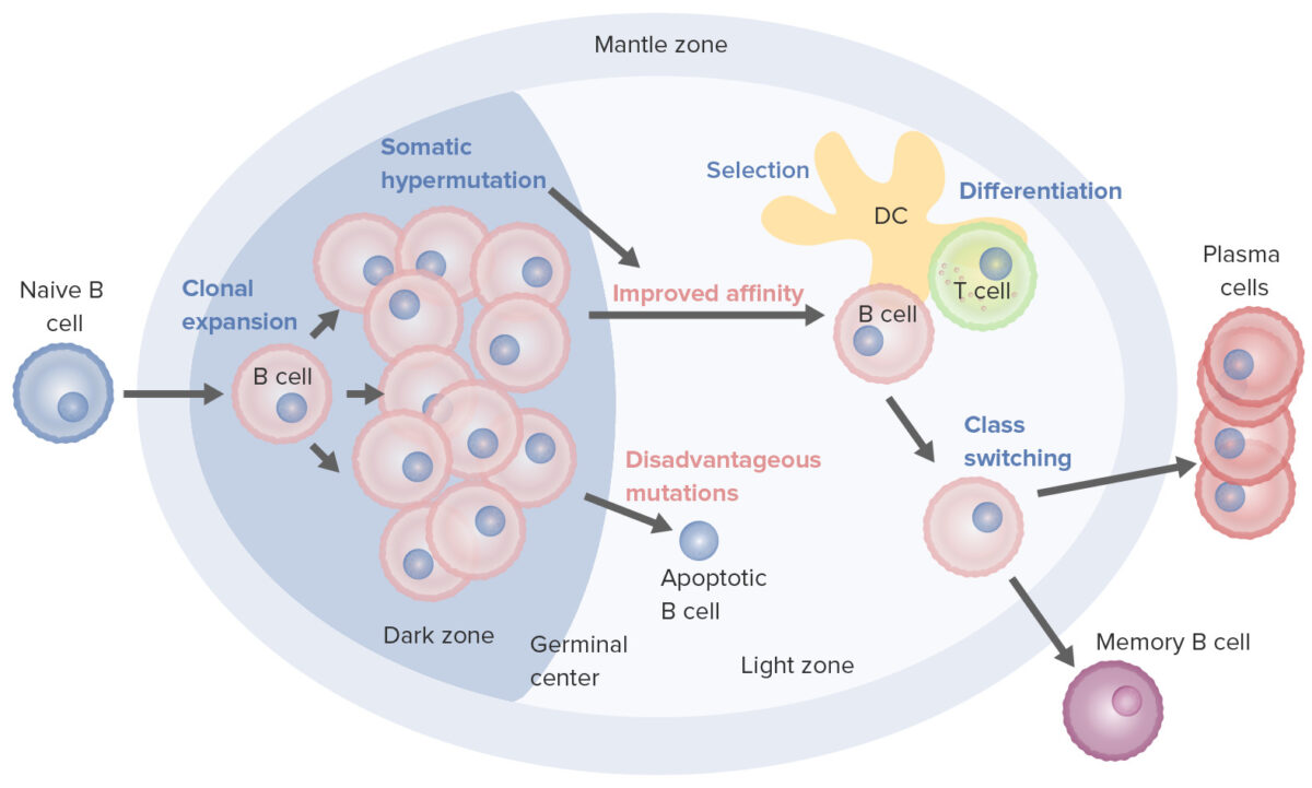 B-cell activation and maturation processes in the germinal center