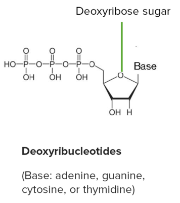 Basic structure of ribonucleotides