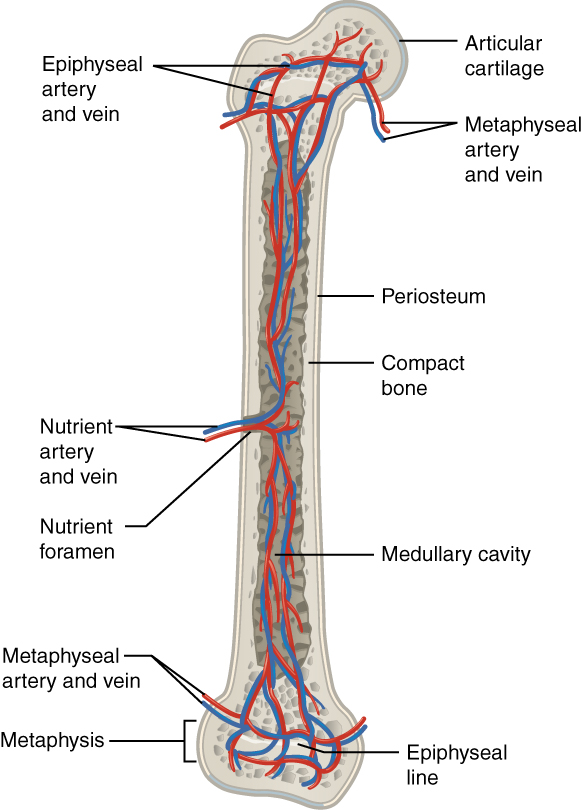 Blood supply in the bone