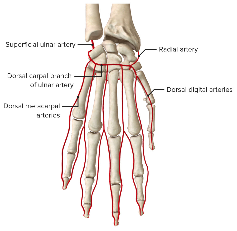 Blood supply of the dorsal aspect of the hand