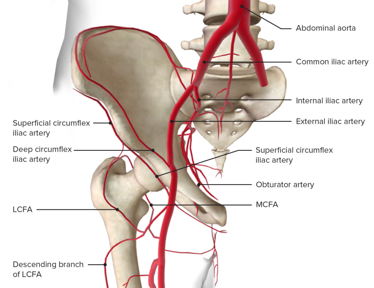 Blood supply of the hip joint