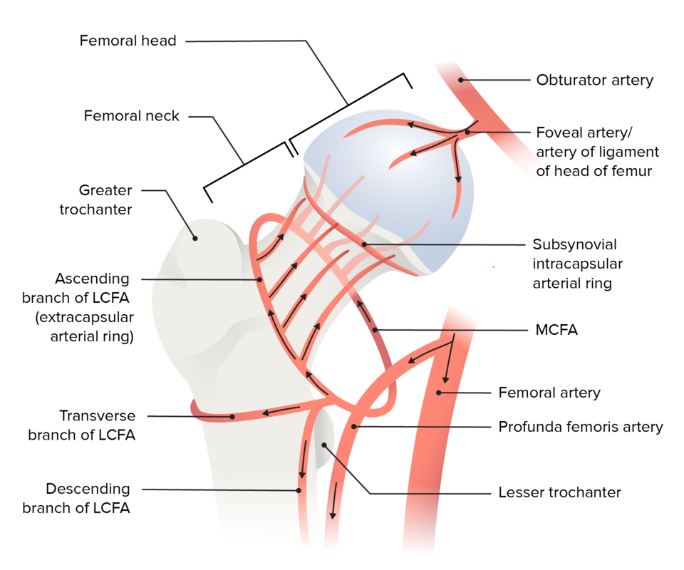 Blood supply of the hip joint diagram