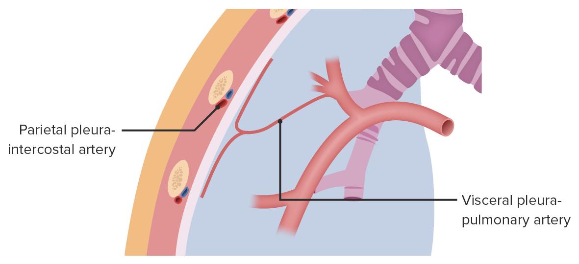 Blood supply of the pleurae