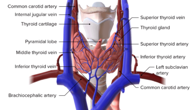 Blood supply of the thyroid