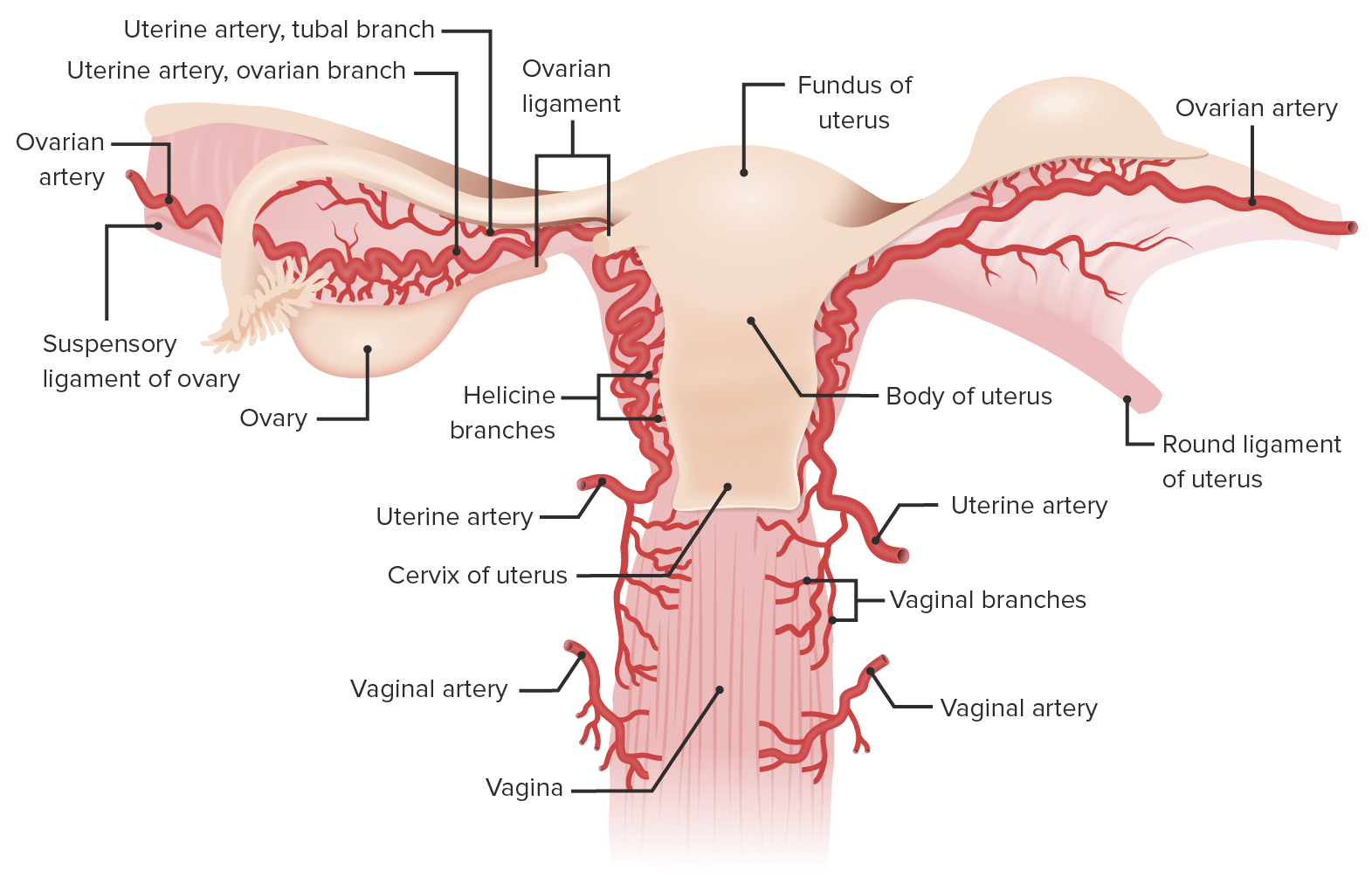 Blood supply of the uterus and ovaries