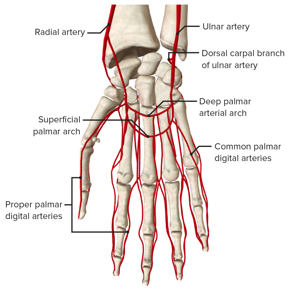 Blood supply to the palmar aspect of the hand