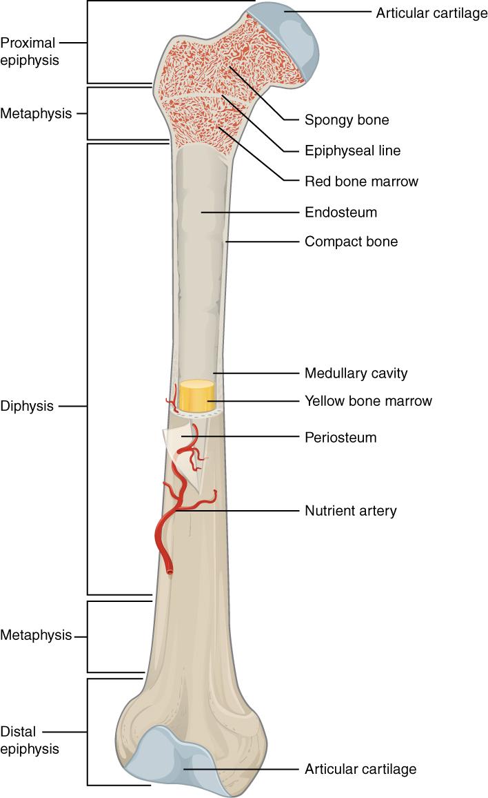 Bone marrow inside the femur