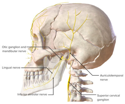 Branches of the trigeminal nerve