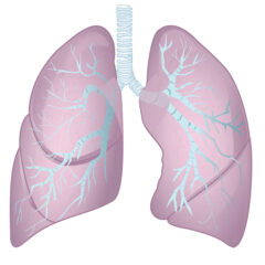 Bronchi and Lungs