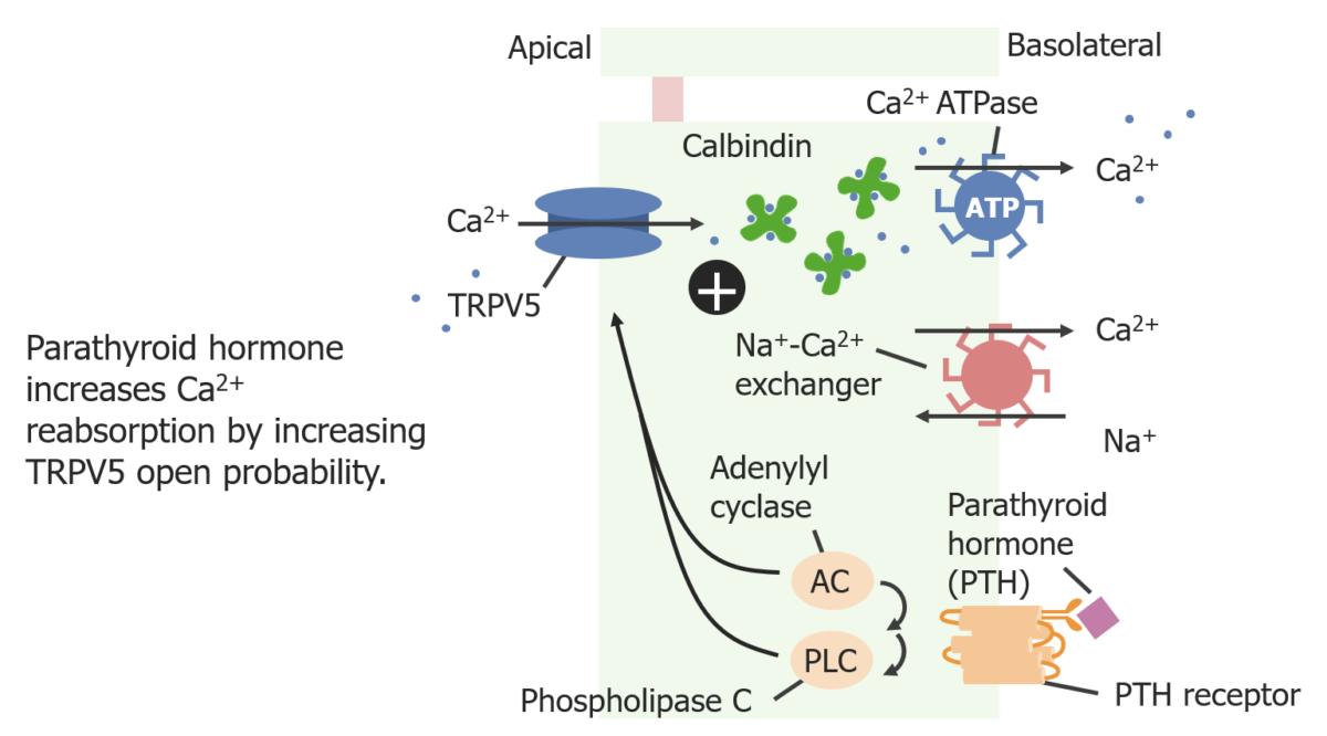 Calcium reabsorption in distal tubule