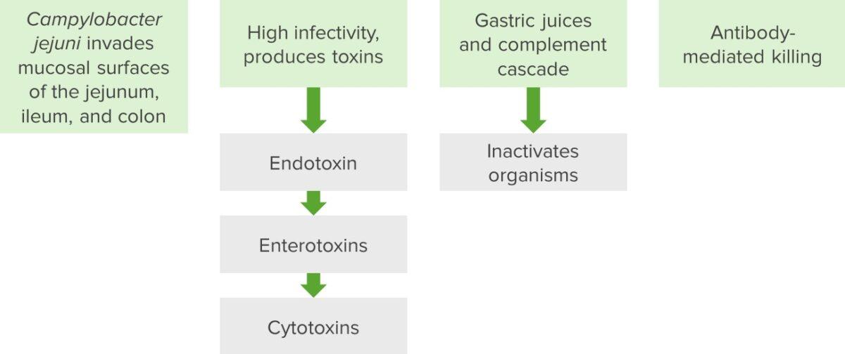 Campylobacter pathogenesis