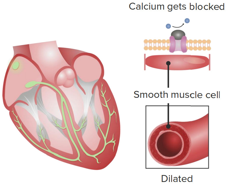 Cardiovascular effects of calcium channel blockers (CCBs)