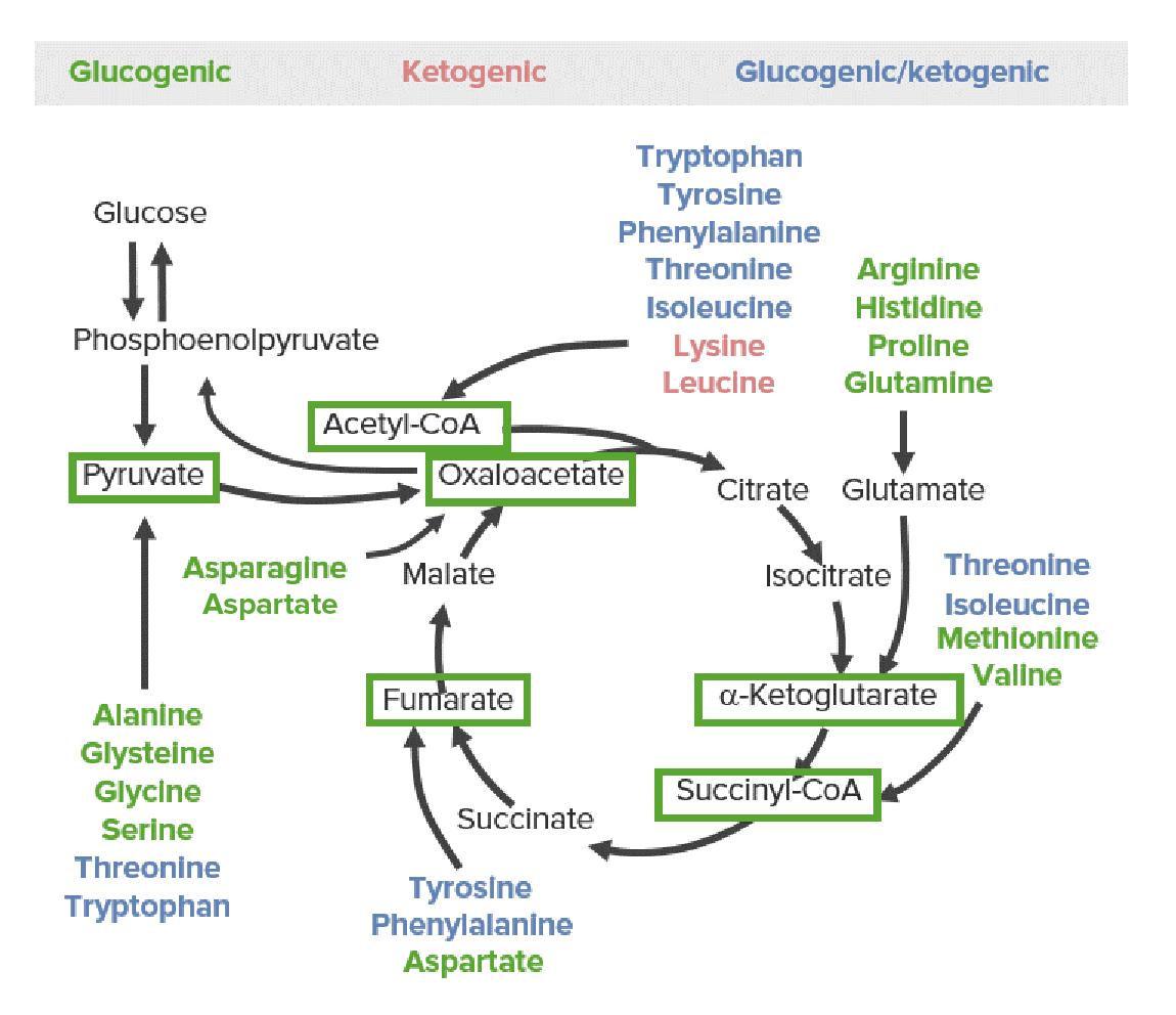 Catabolism of Amino Acids Diagram