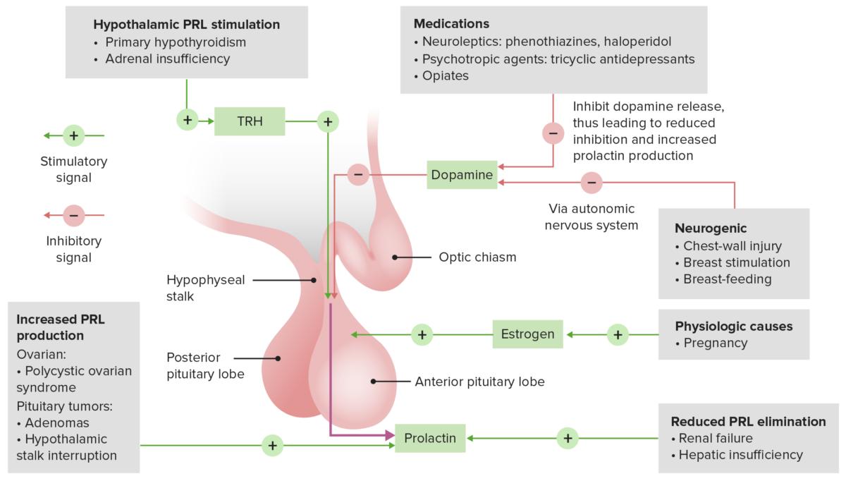 Causes of hyperprolactinemia and feedback loop