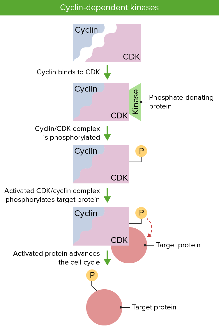 Cell Cycle Diagram CDK