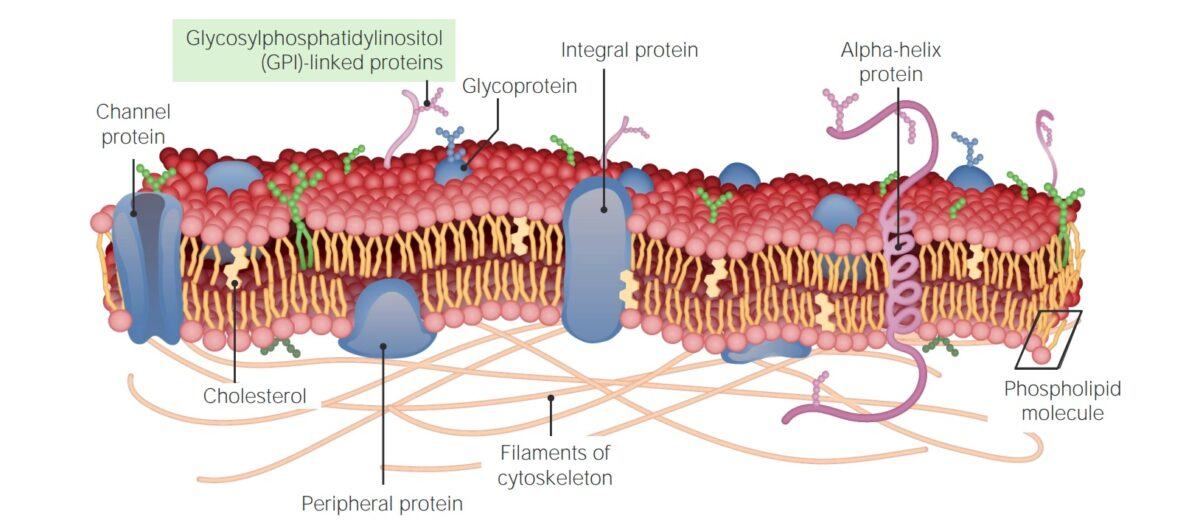 Cell membrane's proteins - cross section