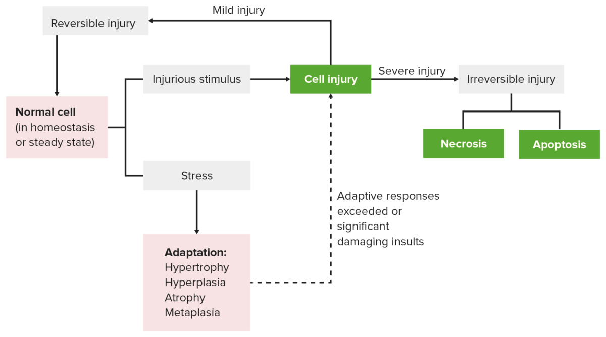Cellular response to stress and injury