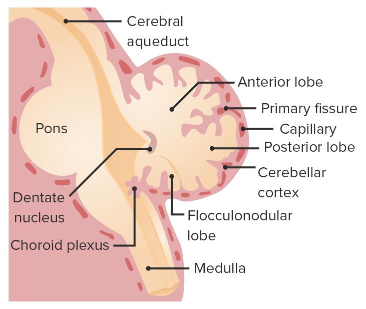 Cerebellum development