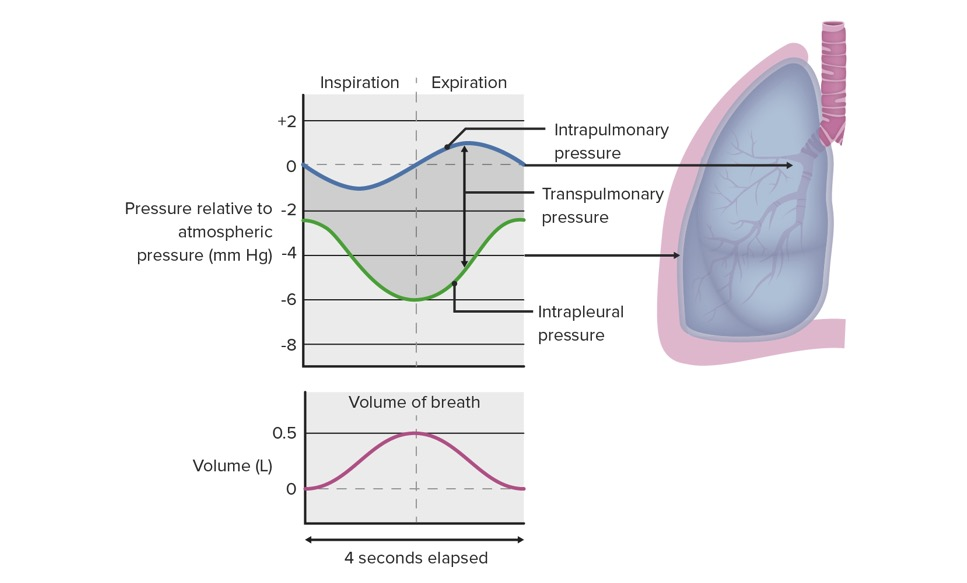 Changes in pressure relationships in the thoracic cavity during respiration