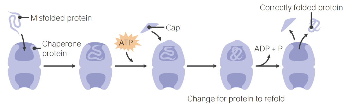 Chaperone proteins assist in protein folding