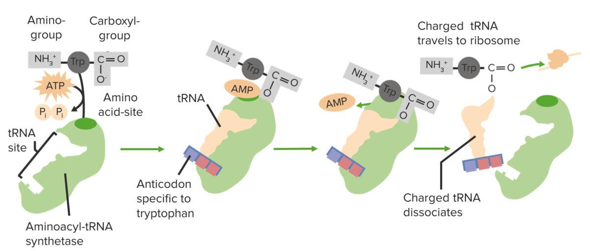 Charging a tRNA on aminoacyl synthetase