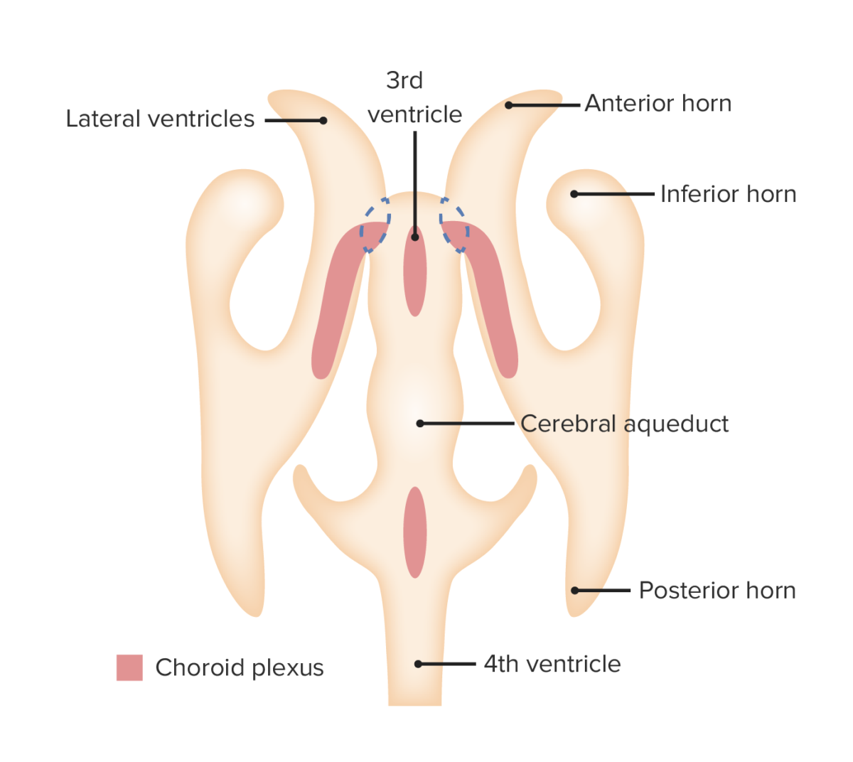 Choroid plexus development