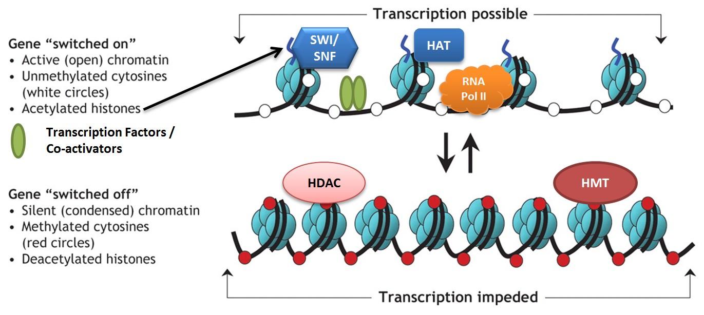 Chromatin remodeling in regulation of transcription