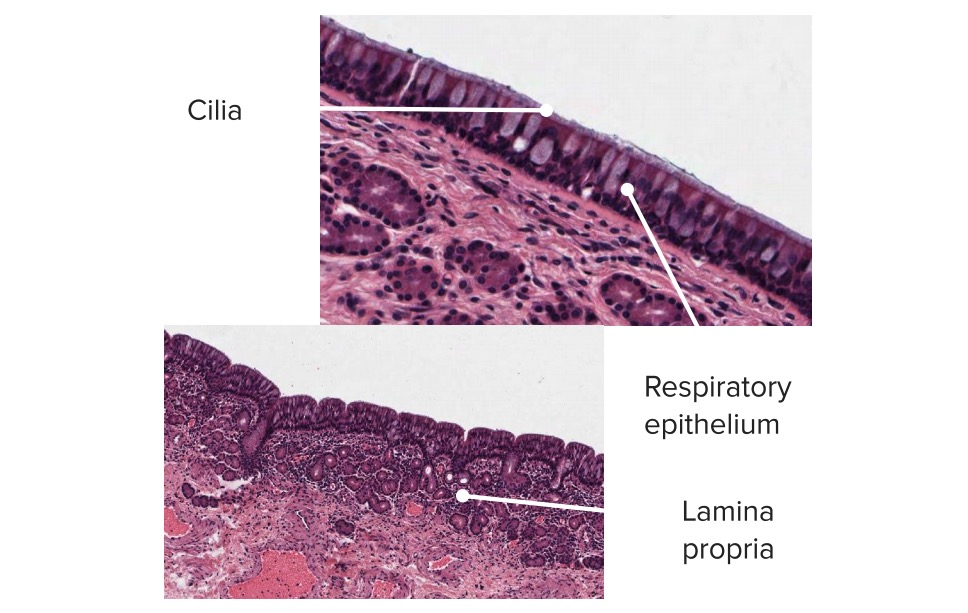 Cilia histology