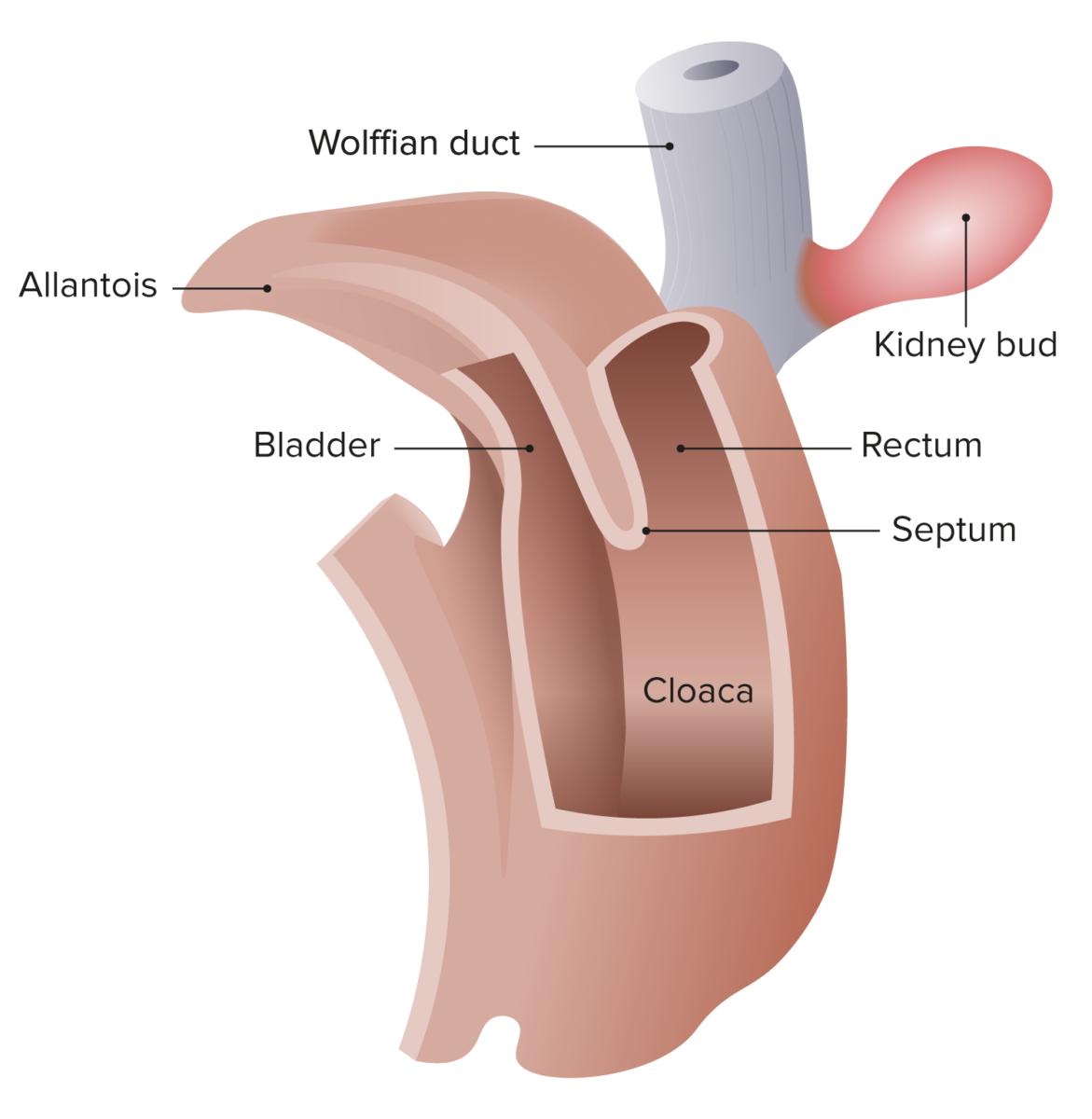 Cloaca of human embryo
