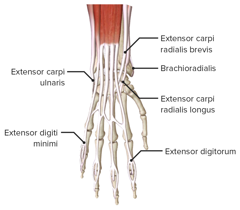 Close up of the insertion of the extensor muscles of the forearm and digits
