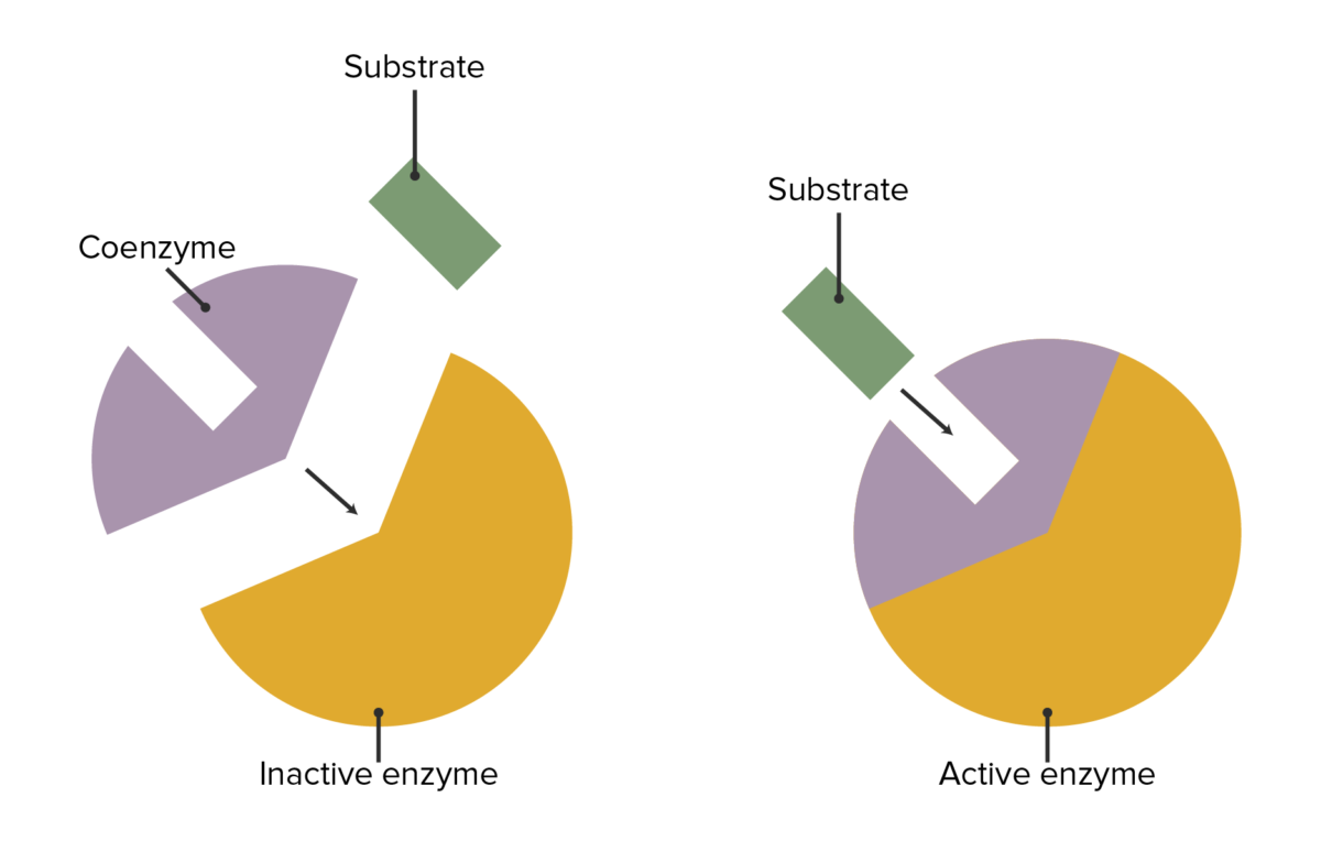 Coenzyme's role