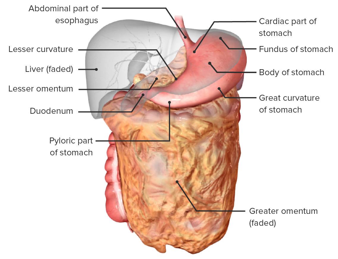 Surgical Anatomy of the Abdomen