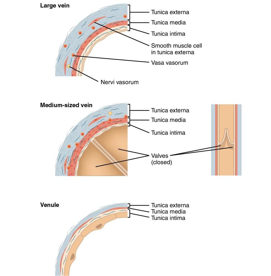 Comparison of vein types