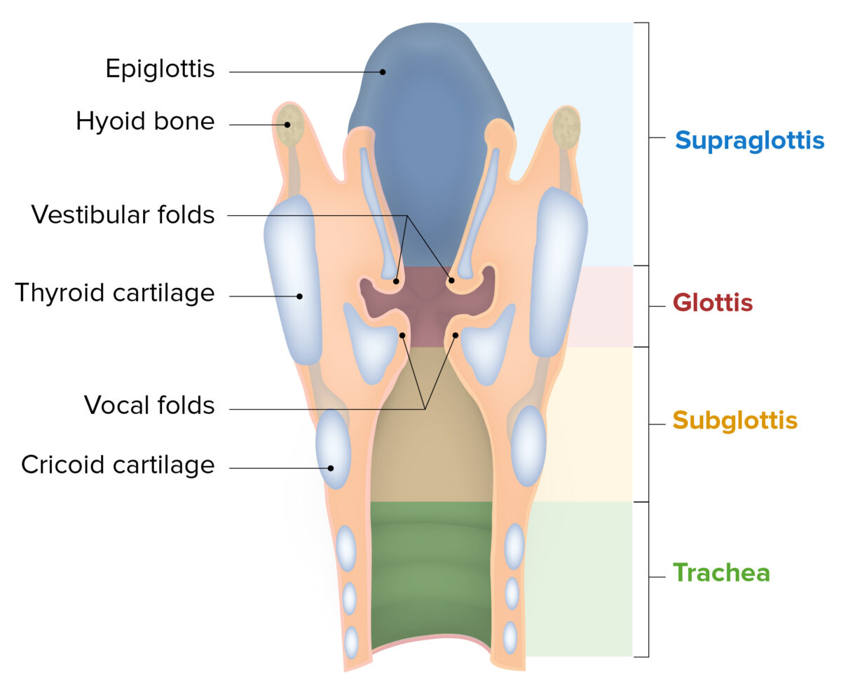 Components and regions of the larynx