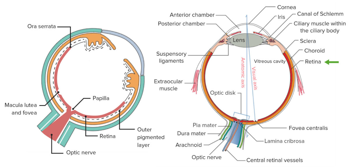 Components uvea and general structure of the eye