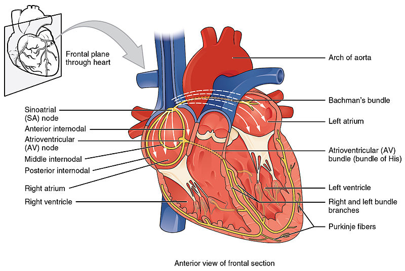 Conduction system of the heart Wikimedia