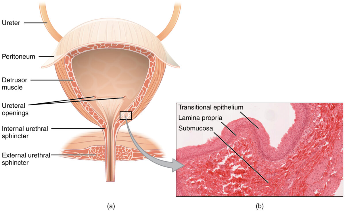 Coronal cross section of the bladder
