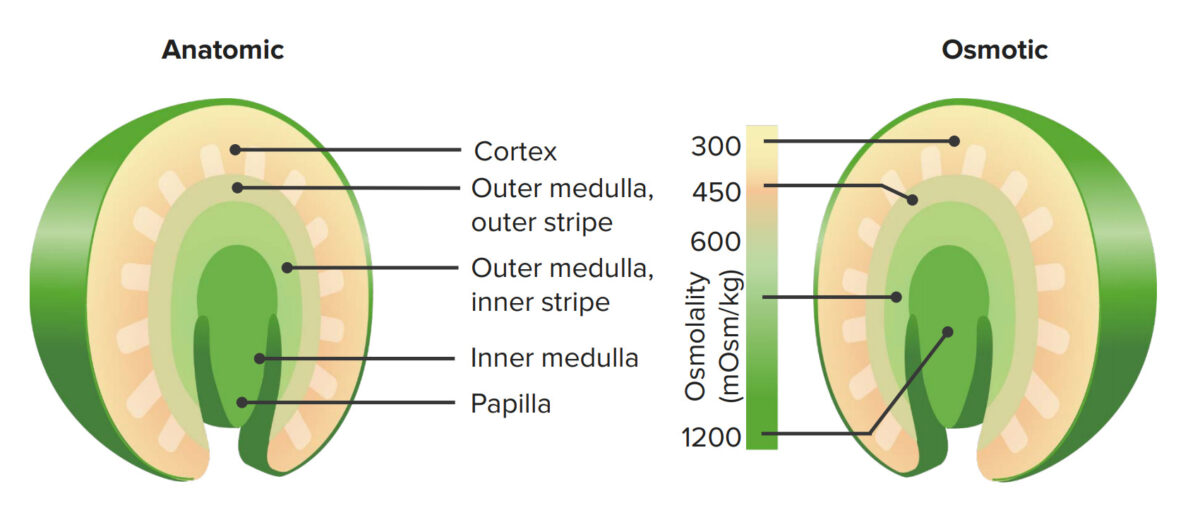 Corticomedullary gradient
