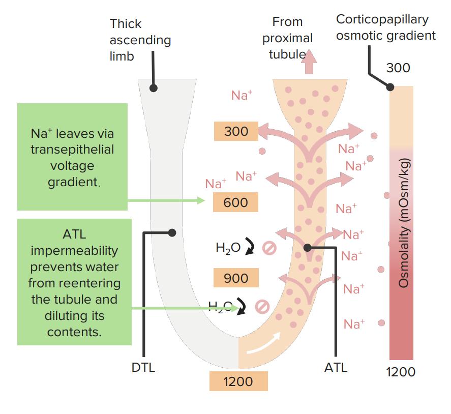 Corticomedullary gradient ascending thin limb effect