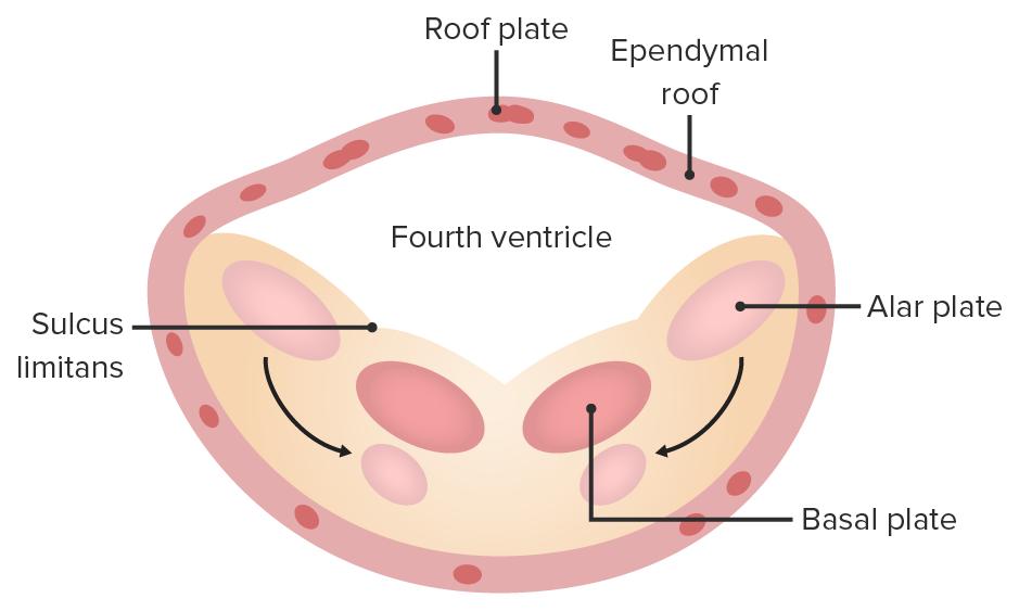 Cranial medulla development