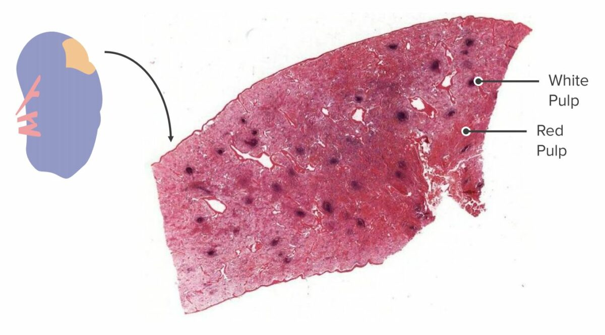 Cross section of a spleen showing white pulp and red pulp