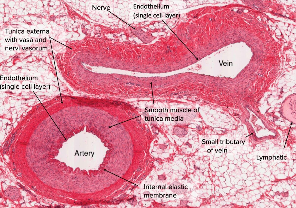 Cross-section of artery and vein